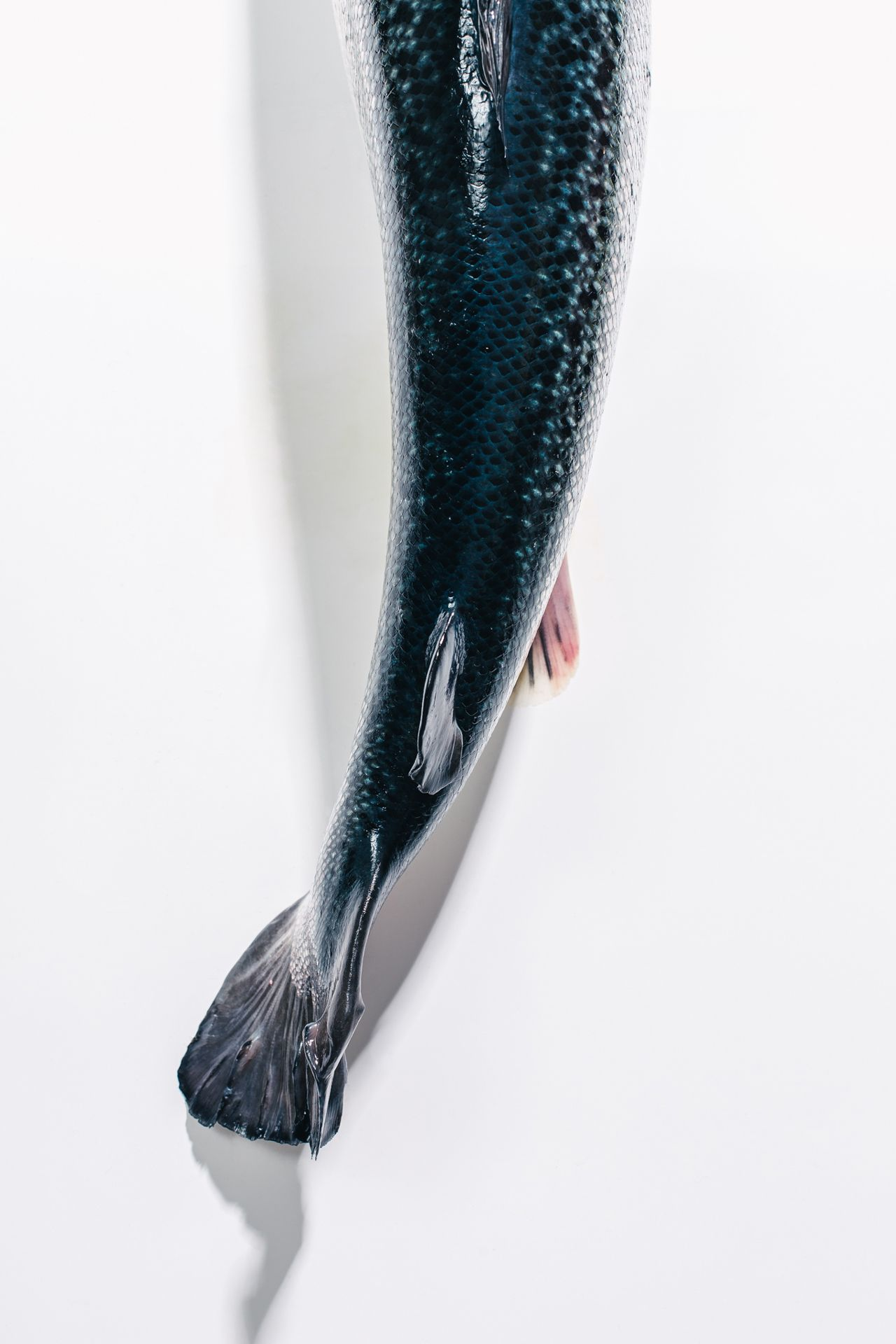 tail of genetically modified salmon by Alexi Hobbs at AquaBounty for Bloomberg Businessweek