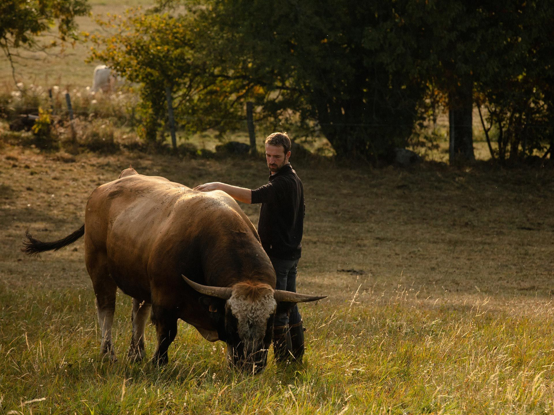 farmer in field petting his cow while she eats by Alexi Hobbs in Auvergne for Reflets de France