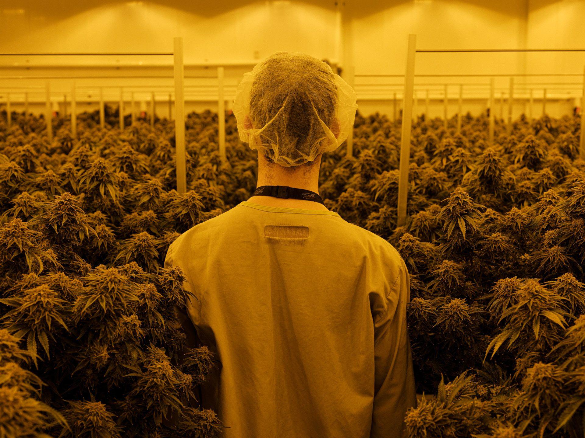 worker passing through field of weed in orange light by Alexi Hobbs at Tweed HQ for Bloomberg Businessweek