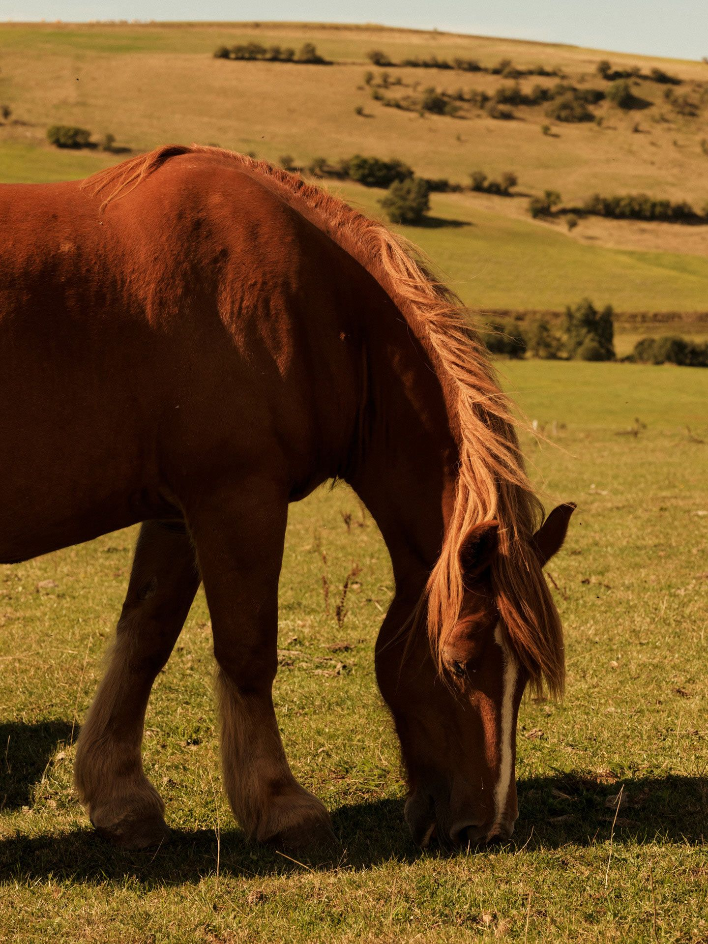 percheron horse eating grass by Alexi Hobbs in Auvergne for Reflets de France