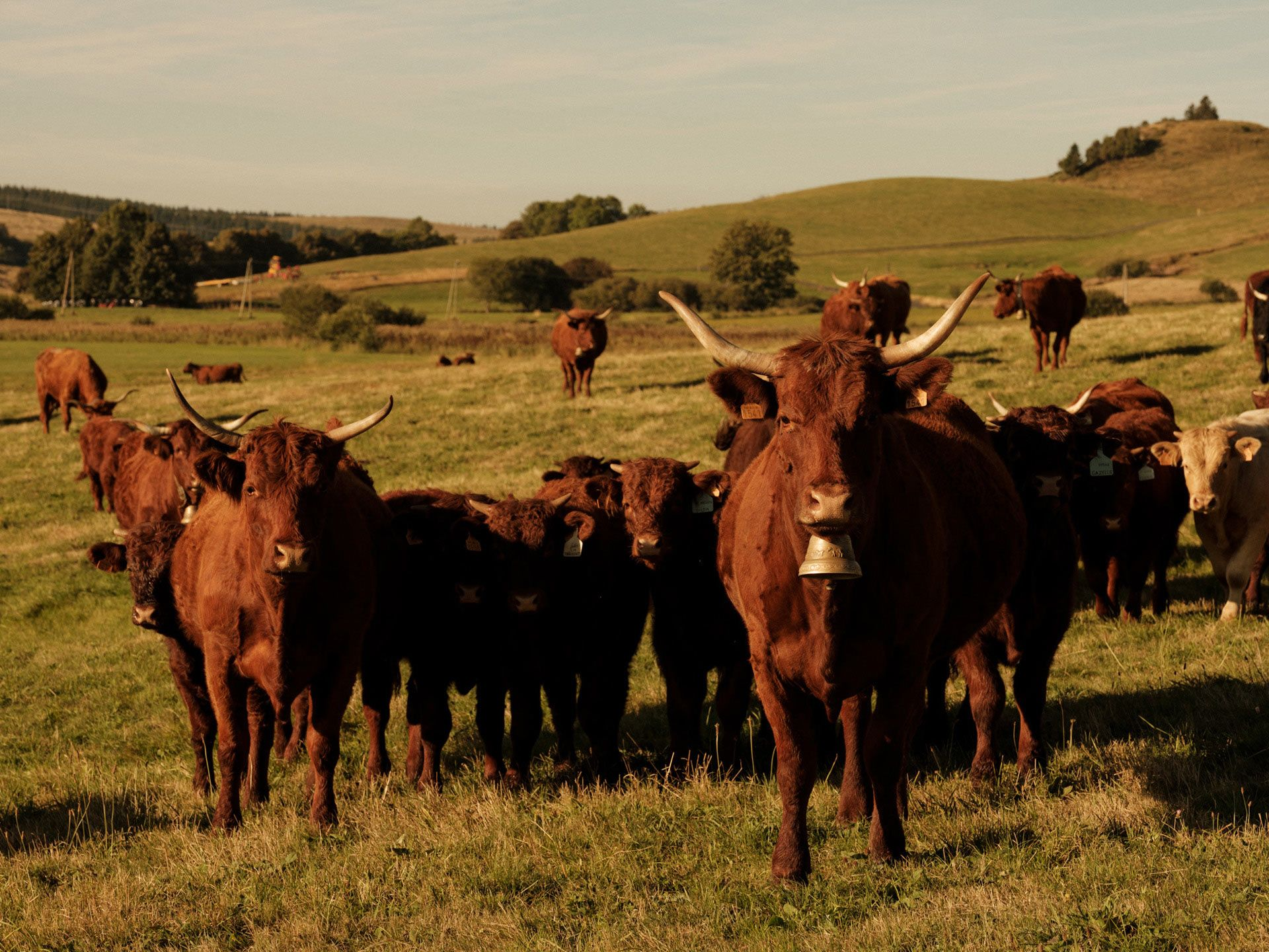 ginger long haired cows in field looking at camera by Alexi Hobbs in Auvergne for Reflets de France