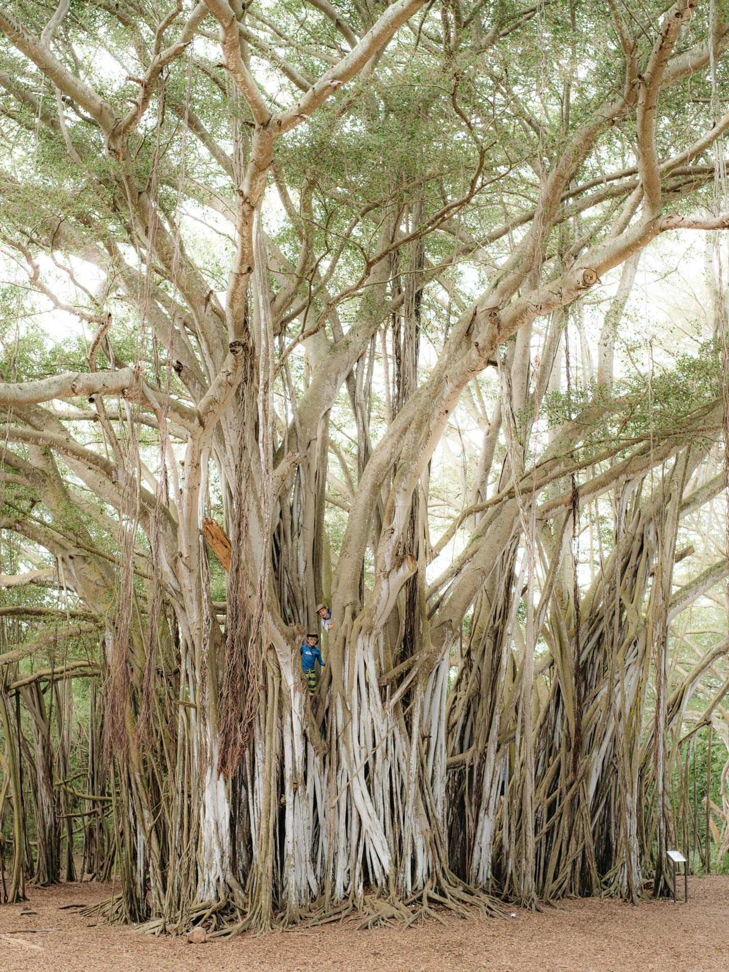 ancient trees by Alexi Hobbs in Hawaii for enRoute