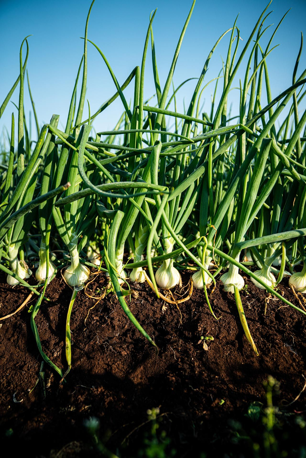 young plant of garlics in the dirt by Bruno Florin for Sollio Agriculture