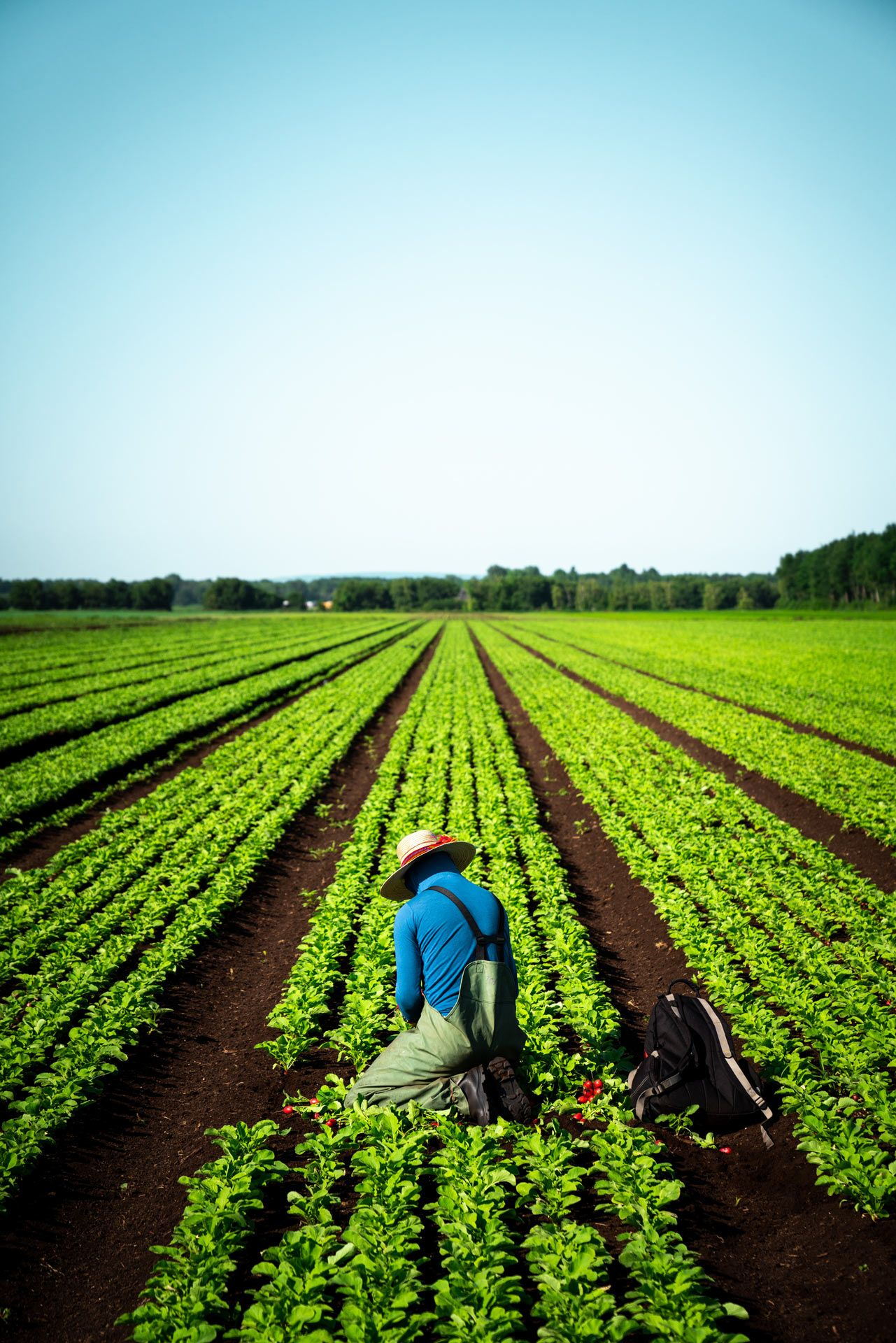 farm worker kneeling in field to harvest radishes by Bruno Florin for Sollio Agriculture
