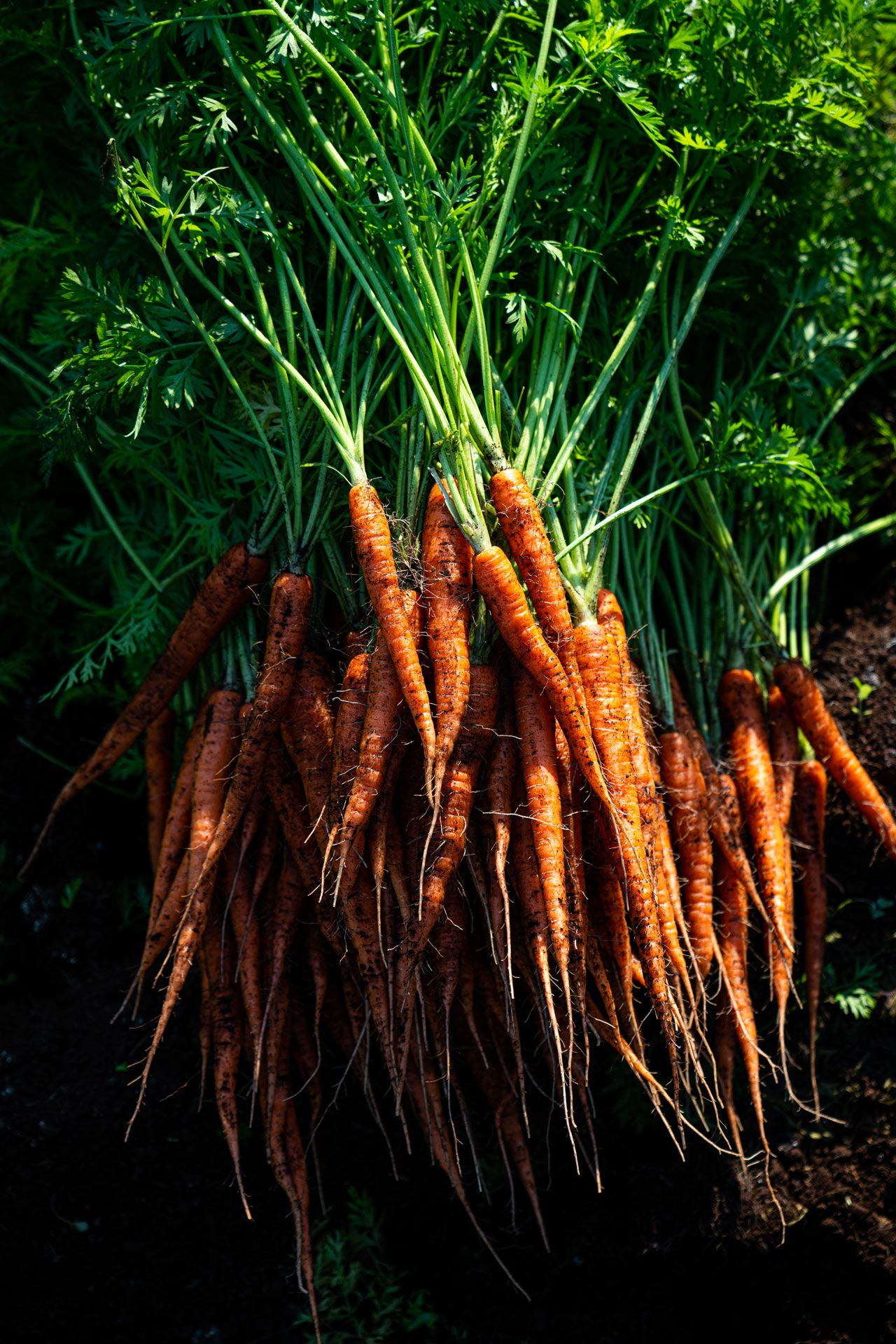 carrots freshly out of the ground still covered in dirt by Bruno Florin for Sollio Agriculture