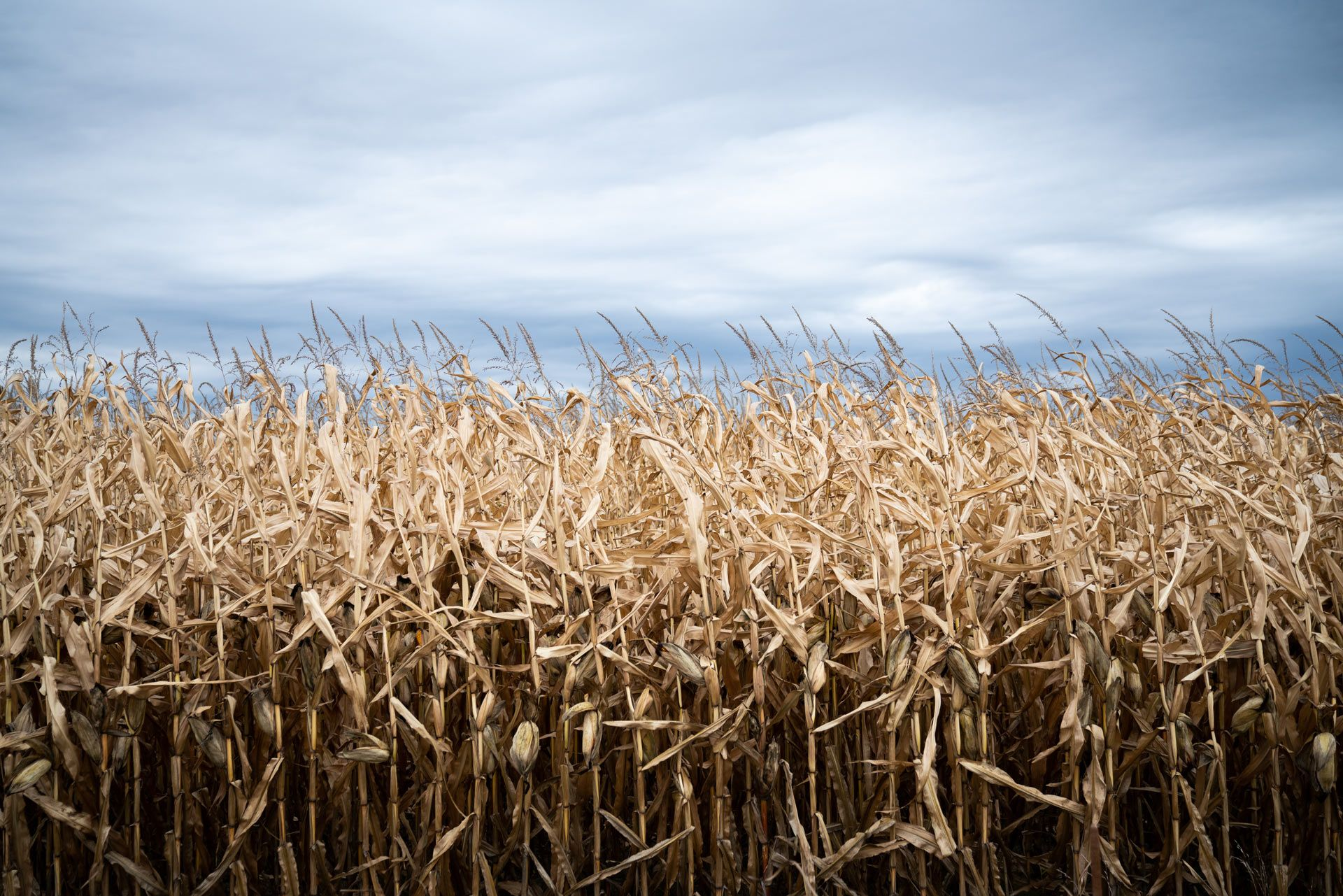 large view of dried cornfield by Bruno Florin for Sollio Agriculture