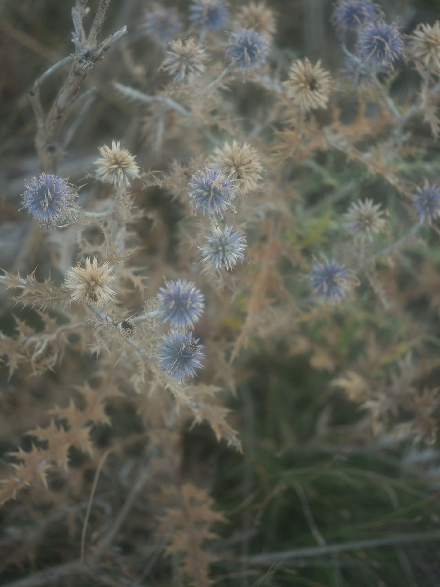 close up of spiky purple flowers by Alexi Hobbs in Auvergne for Reflets de France