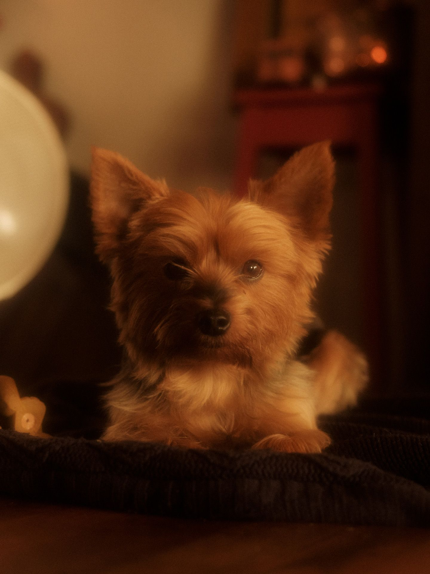 small dog laying on couch looking at camera by Alexi Hobbs in Auvergne for Reflets de France