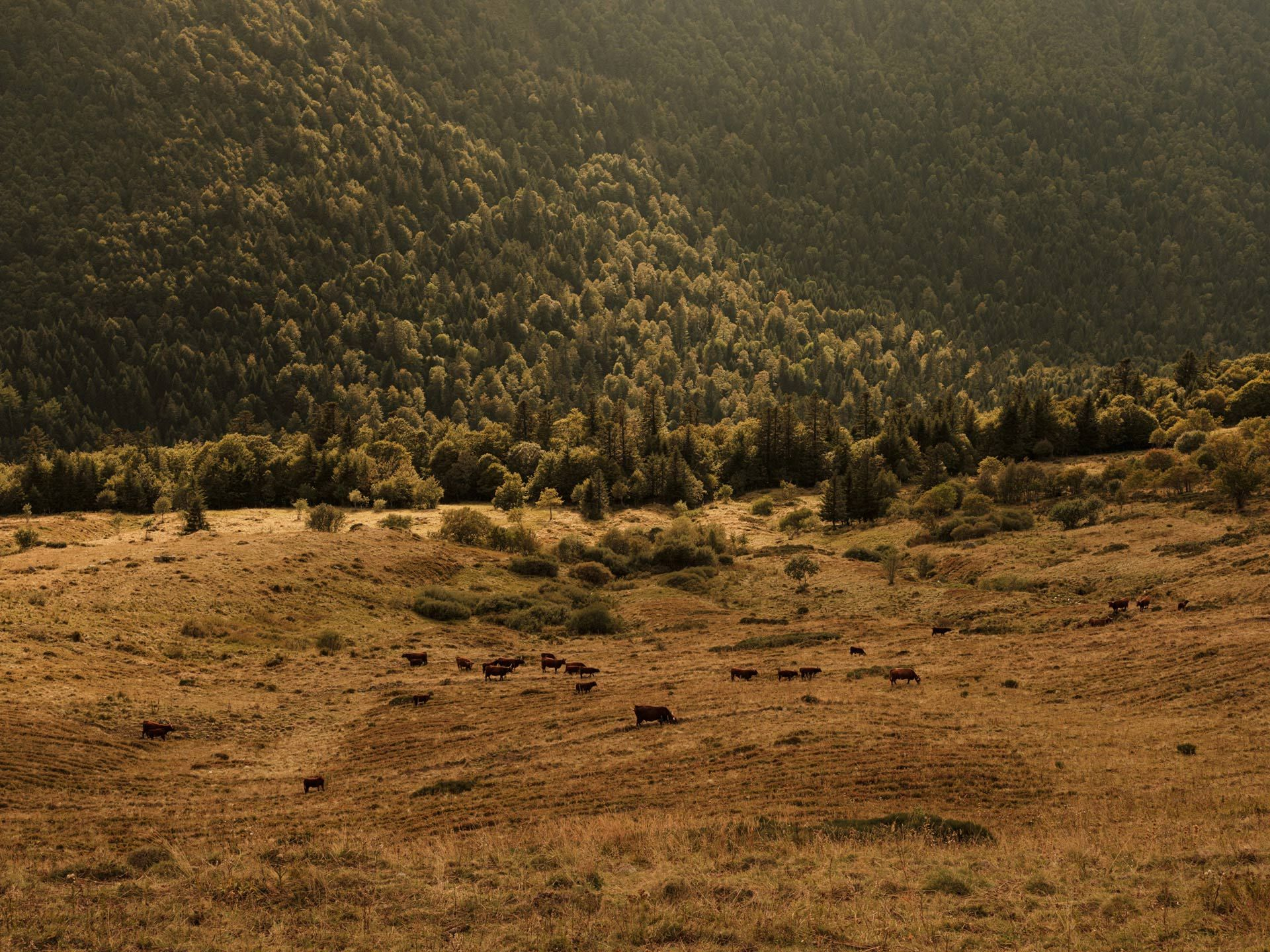 wide view of mountain foot field with cows in it by Alexi Hobbs in Auvergne for Reflets de France