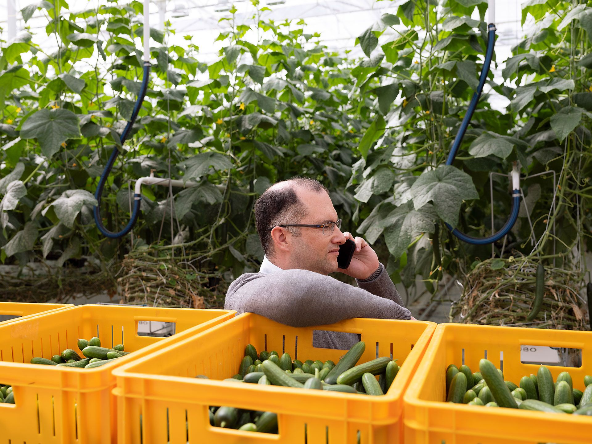 Founder of Serres Toundra speaking on the phone by crates of cucumbers in a greenhouse.