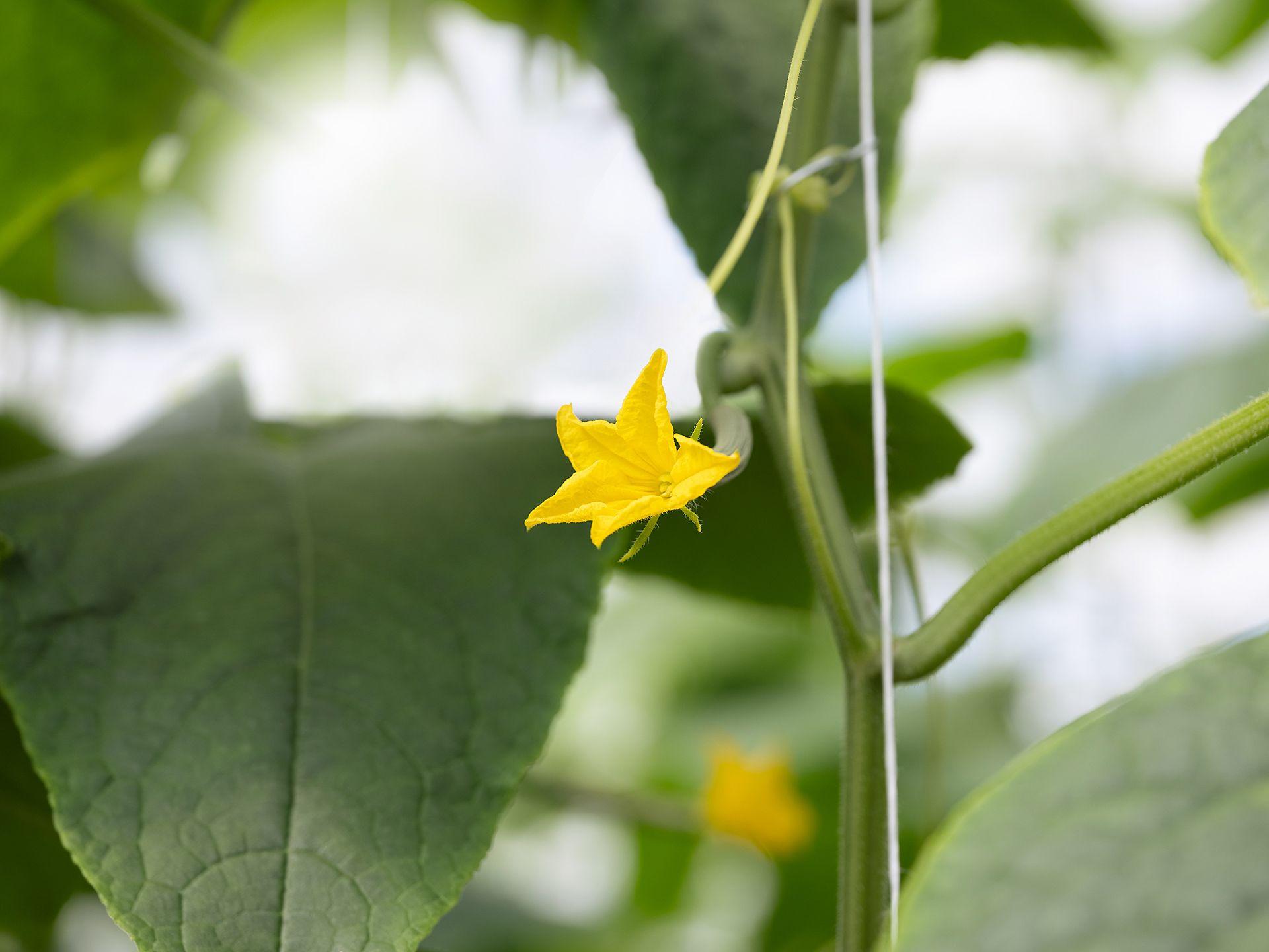 Close-up of zucchini flower.