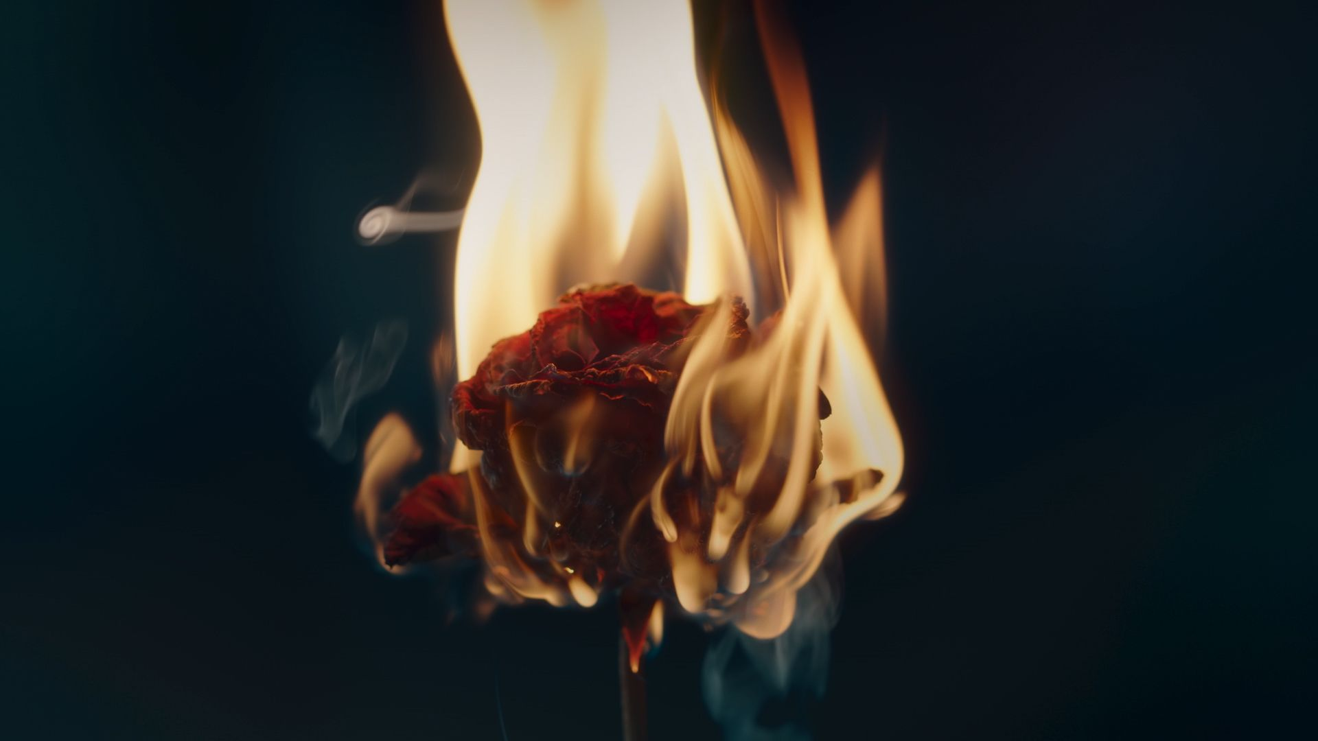 dried red rose on fire by Mathieu Levesque for Give A Shit by Colorectal Cancer Canada