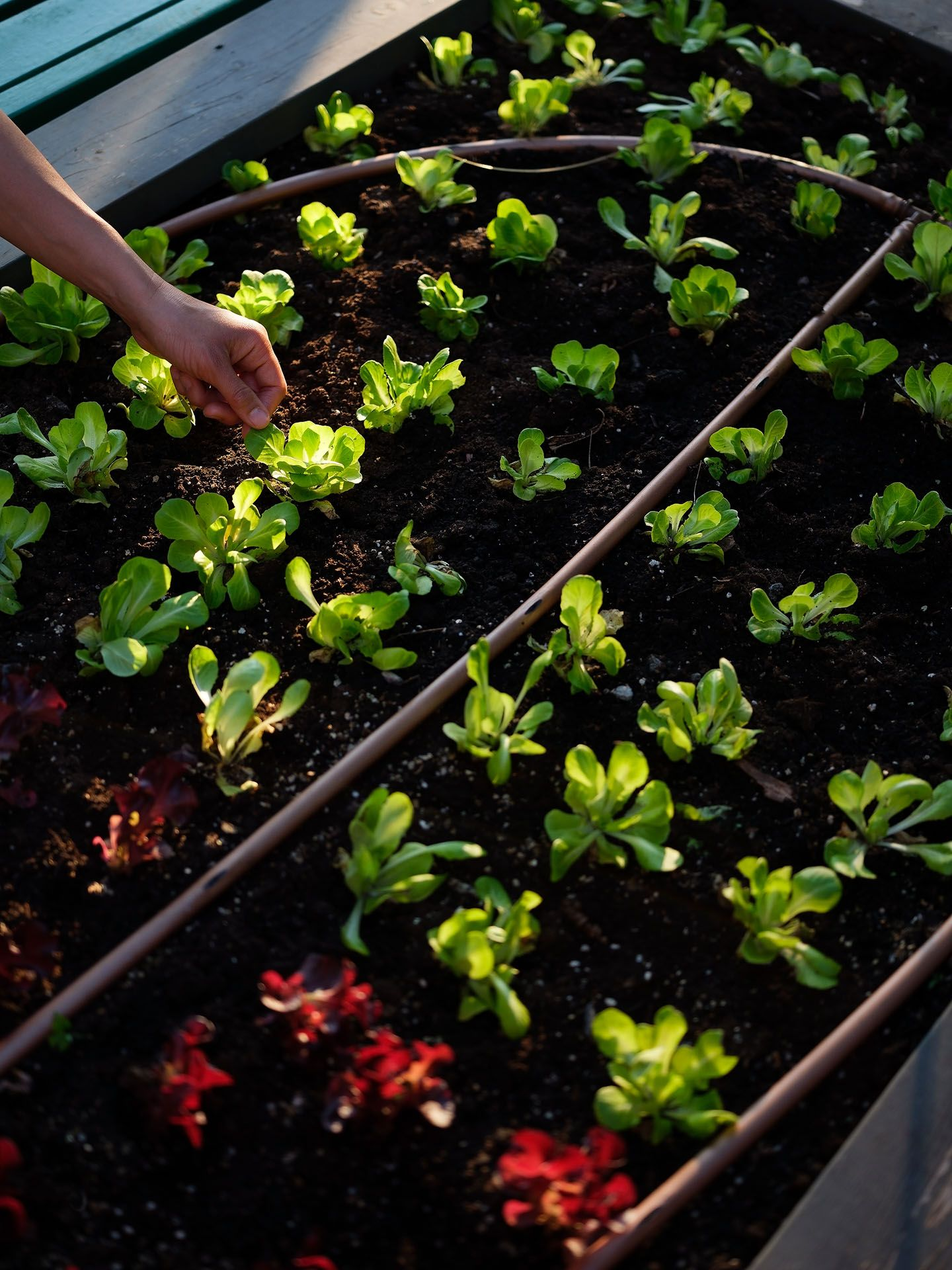 hand checking lettuces in the dirt in vegetable garden photographed by Guillaume Simoneau as part of Off Duty Montreal series for The Wall Street Journal magazine