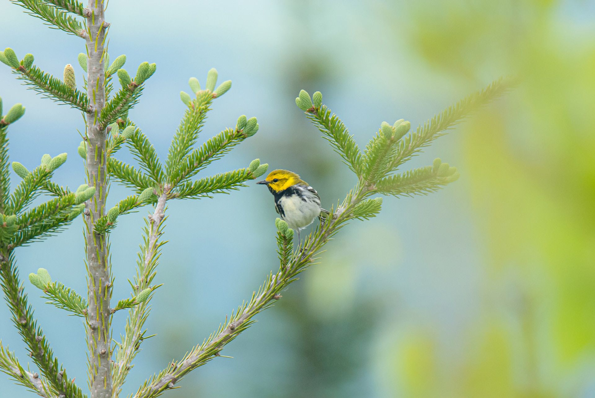 little orange and brown bird on tree branch in summer blue sky in background by Alexi Hobbs